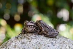 βάτραχοι δύο Στοκ εικόνα με δικαίωμα ελεύθερης χρήσης