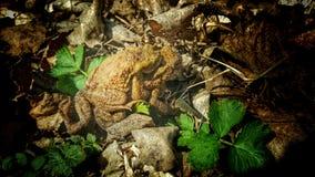 βάτραχοι δύο Στοκ φωτογραφίες με δικαίωμα ελεύθερης χρήσης