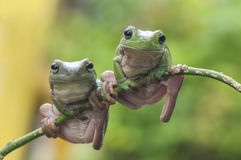 βάτραχοι δύο Στοκ Φωτογραφίες
