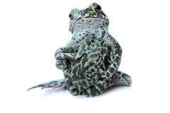 βάτραχοι Στοκ φωτογραφία με δικαίωμα ελεύθερης χρήσης