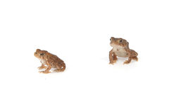 βάτραχοι Στοκ Εικόνες