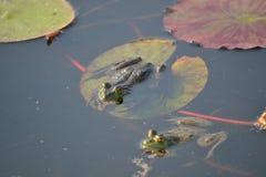 βάτραχοι Στοκ Εικόνα