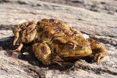 βάτραχος άσχημος Στοκ Φωτογραφία