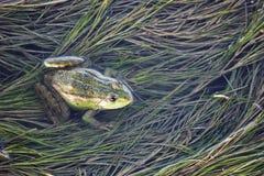 Βάτραχος έλους στο σύνολο λιμνών των ζιζανίων Πράσινη esculentus συνεδρίαση Pelophylax βατράχων στο νερό Στοκ Φωτογραφίες