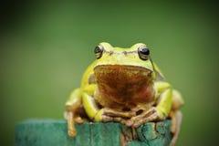 Βάτραχος δέντρων που εξετάζει τη κάμερα Στοκ Φωτογραφίες