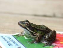 βάτραχος λίγα Στοκ Εικόνα