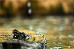 βάτραχος λίγα Στοκ Φωτογραφία