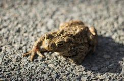 Βάτραχος αλητών Στοκ φωτογραφία με δικαίωμα ελεύθερης χρήσης