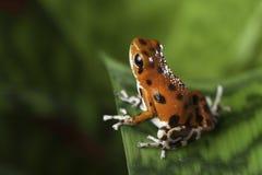 Βάτραχος βελών δηλητήριων Στοκ Φωτογραφία