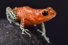 Βάτραχος βελών φραουλών, pumilio Oophaga Στοκ Φωτογραφίες
