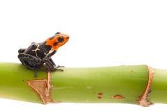 Βάτραχος βελών δηλητήριων που απομονώνεται Στοκ φωτογραφίες με δικαίωμα ελεύθερης χρήσης