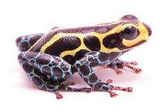 Βάτραχος βελών δηλητήριων στο λευκό Στοκ εικόνες με δικαίωμα ελεύθερης χρήσης