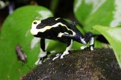 Βάτραχος βελών δηλητήριων της Marie Dendrobates Olie σε μια καλύβα καρύδων Στοκ Εικόνες