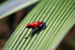 Βάτραχος βελών δηλητήριων φραουλών Στοκ εικόνα με δικαίωμα ελεύθερης χρήσης