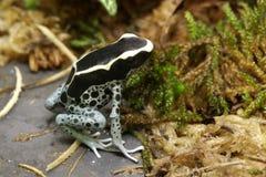Βάτραχος βελών δηλητήριων Dendrobates Στοκ Εικόνα
