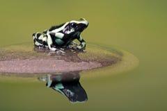 Βάτραχος βελών δηλητήριων (Dendrobates Auratus) Στοκ φωτογραφία με δικαίωμα ελεύθερης χρήσης