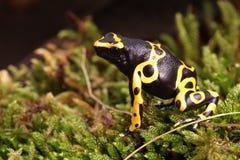 Βάτραχος βελών δηλητήριων Leucomelas Dendrobates Στοκ φωτογραφίες με δικαίωμα ελεύθερης χρήσης