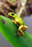 Βάτραχος βελών δηλητήριων pumilio άνω και κάτω τελειών Στοκ Εικόνες