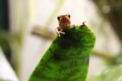 Βάτραχος βελών δηλητήριων Pumilio που κρυφοκοιτάζει πέρα από ένα φύλλο, κρύψιμο Στοκ Εικόνες