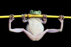 Βάτραχος δέντρων, κοντόχοντρος βάτραχος γυμναστικός στον κλάδο Στοκ Εικόνα
