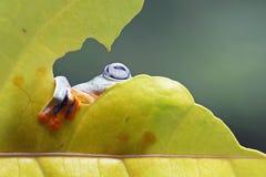 Βάτραχος δέντρων, πετώντας δορά βατράχων στο φύλλο Στοκ φωτογραφίες με δικαίωμα ελεύθερης χρήσης
