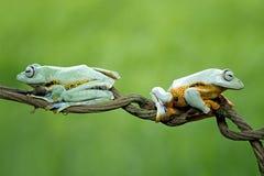 Βάτραχος δέντρων, πετώντας βάτραχος, javan βάτραχος δέντρων, wallace Στοκ Εικόνα