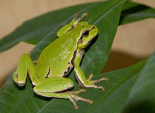 Βάτραχος δέντρων σε ένα πράσινο φύλλο. Στοκ εικόνα με δικαίωμα ελεύθερης χρήσης