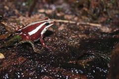 Βάτραχος δηλητήριο-βελών του Anthony Στοκ φωτογραφία με δικαίωμα ελεύθερης χρήσης