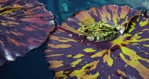 Βάτραχος λεοπαρδάλεων στο μαξιλάρι κρίνων Στοκ Εικόνες