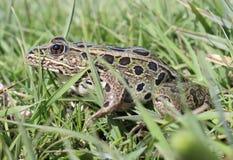 Βάτραχος λεοπαρδάλεων Στοκ Εικόνες