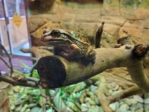 Βάτραχος στοκ εικόνες