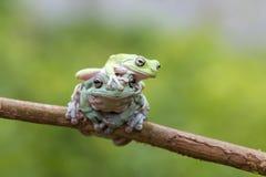 Βάτραχος, ζώα, βάτραχος δέντρων, κοντόχοντρος βάτραχος, Στοκ Εικόνες