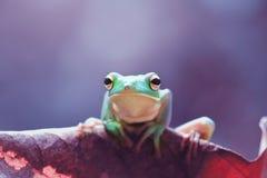 Βάτραχος, ζώα, Στοκ Εικόνες