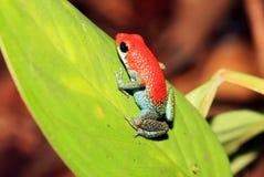 Βάτραχος δηλητήριο-βελών φραουλών Στοκ φωτογραφία με δικαίωμα ελεύθερης χρήσης