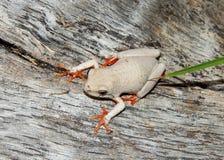 βάτραχος κάλαμος Στοκ Φωτογραφίες