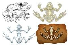 Βάτραχος και απολίθωμα υπόγειοι ελεύθερη απεικόνιση δικαιώματος