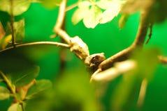 βάτραχος κλάδων Στοκ Εικόνες