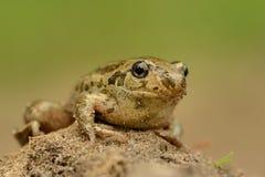 Βάτραχος κοινό fuscus Spadefoot - Pelobates Στοκ Εικόνα