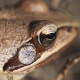 βάτραχος ματιών λεπτομέρε& Στοκ Εικόνες