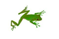 Βάτραχος με το πράσινο δέρμα και κόκκινα μάτια στο άσπρο υπόβαθρο Στοκ Φωτογραφία