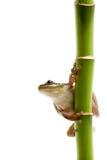 βάτραχος μπαμπού Στοκ εικόνες με δικαίωμα ελεύθερης χρήσης