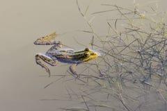 Βάτραχος νερού Στοκ Εικόνες