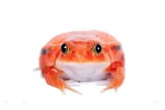 Βάτραχος ντοματών της Μαδαγασκάρης που απομονώνεται στο λευκό Στοκ εικόνα με δικαίωμα ελεύθερης χρήσης
