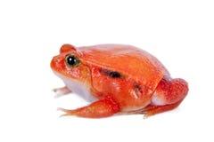 Βάτραχος ντοματών της Μαδαγασκάρης που απομονώνεται στο λευκό Στοκ Εικόνες