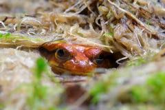 Βάτραχος ντοματών Sambava Στοκ Φωτογραφία