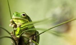 Βάτραχος οχιών Στοκ Εικόνα