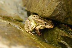 βάτραχος που απομονώνετ&alp Στοκ εικόνα με δικαίωμα ελεύθερης χρήσης