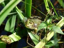 Βάτραχος που αρχίζει στον κοασμό Στοκ Εικόνες