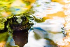 Βάτραχος που εξετάζει με στοκ φωτογραφία με δικαίωμα ελεύθερης χρήσης