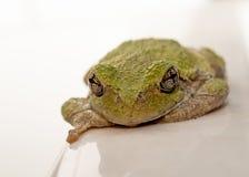 Βάτραχος που εξετάζει σας Στοκ Εικόνες